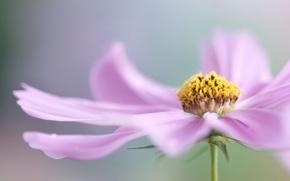Картинка цветок, макро, розовый, лепестки