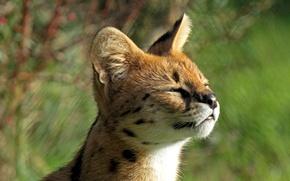 Картинка малыш, мордочка, профиль, котёнок, балдеет, сервал, кустарниковая кошка, Leptailurus serval