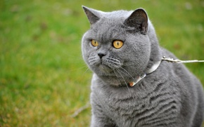 Картинка зелень, кошка, трава, глаза, кот, взгляд, серый, улица, портрет, поводок, ошейник, прогулка, мордаха, британский, красавец, …