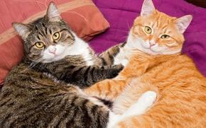 Картинка кошки, двое, Cats