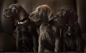 Картинка собаки, щенки, лабрадоры