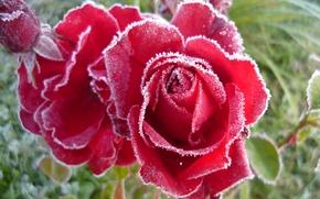 Обои иней, розы, бутоны