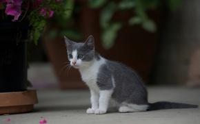 Картинка кошка, цветы, дом, котенок, серо-белый