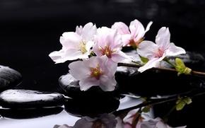 Картинка вода, капли, макро, вишня, отражение, камни, ветка, сакура