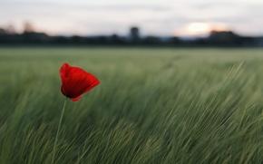 Картинка поле, цветок, трава, красный, природа