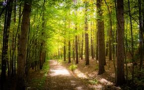 Обои лес, деревья, листва, зелень, дорожка