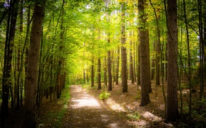 Картинка зелень, лес, деревья, листва, дорожка, солнечно, тропинка
