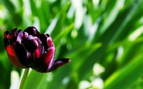 Картинка тюльпан, среди зелени, тёмно-бордовый