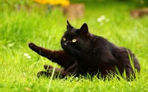 Картинка зелень, кошка, лето, трава, кот, взгляд, природа, поза, газон, поляна, черный, лапы, сад, лежит, желтоглазый