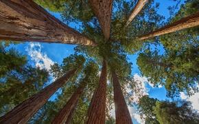 Картинка forest, tree, sequoia, redwood