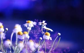 Картинка цвета, цветы, природа, фон, обои, яркие, ромашки, растения