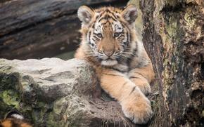 Картинка кошка, взгляд, тигрёнок, тигр, амурский, котёнок, камень