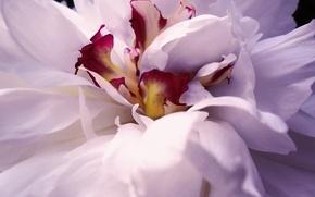 Картинка белый, розовый, макросъёмка, лепестки, пион