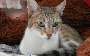 Картинка кошка, полосатая, cat, желтоглазая