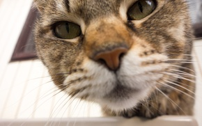 Обои усы, глаза, фон, кот
