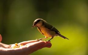 Картинка рука, птичка, ладонь, синица
