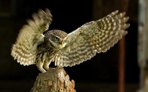 Картинка природа, птица, сыч