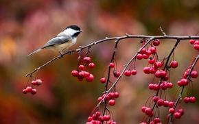Картинка осень, ягоды, птица, ветка, птичка, синичка, синица, John Clay Photography