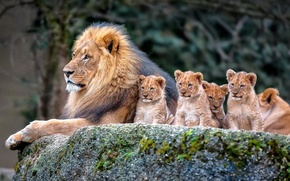 Картинка nature, Lion, family, cubs