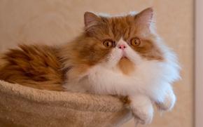 Картинка кот, позирование, перс, пушистая, Персидская кошка