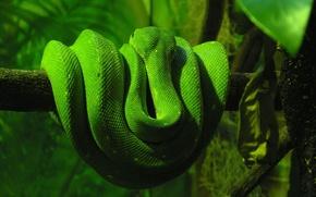 Картинка зелень, змеи, дерево, змея