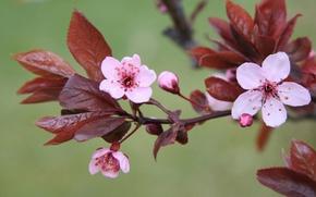Картинка макро, цветы, природа, вишня, зеленый, фон, растения, ветка, весна, розовые, цветение, листья. цветок, вишневый цвет