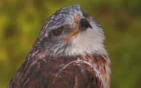 Обои портрет, ястреб, хищник, птица