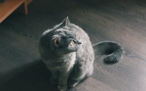 Картинка кот, серый, пол, сидит, ламинат