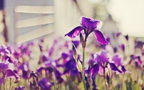Картинка фиолетовый, ярко, ирисы