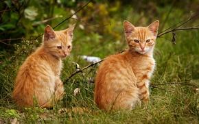 Картинка кот, рыжий, пара