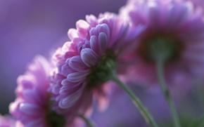 Картинка цветы, лепестки, фон, розовые, Хризантемы, фиолетовый