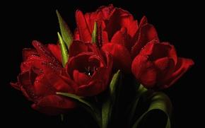 Обои тюльпаны,  красные,  капли,  вода