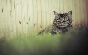 Картинка трава, кот, серый, забор, пушистый
