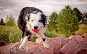 Картинка фон, собака, мячь