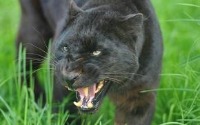 Обои Леопард, чёрный, оскал, пантера, leopard, морда, угроза