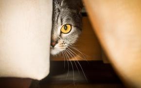 Картинка усы, eyes, cat, порода, scottish straight, murzenko