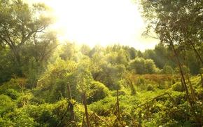 Картинка зелень, солнце, Лес, ясный день