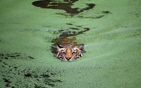 Обои кошка, озеро, тигр, Индия