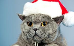 Обои кошка, глаза, кот, серый, шапка, желтые, Новый Год, британец, новогодняя
