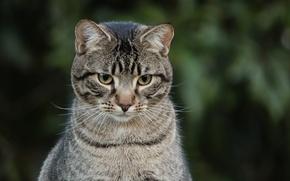 Картинка кот, взгляд, серый, фон, полосатый