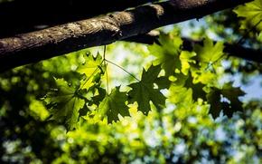 Картинка листья, макро, деревья, природа, клен