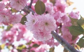 Картинка цветок, макро, цветы, вишня, розовый, ветви, нежность, весна, лепестки, сакура