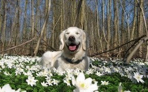 Картинка цветы, природа, собака, весна