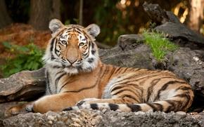 Картинка кошка, взгляд, тигр, камни