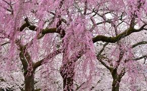 Картинка деревья, цветы, ветки, весна, цветение