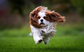 Картинка трава, газон, собака, шерсть, бежит, Спаниель