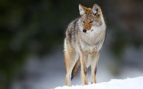 Картинка глаза, снег, eyes, snow, боке, bokeh, койот, coyote