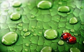 Картинка зелень, капли, насекомые, роса, Лист, божьи коровки