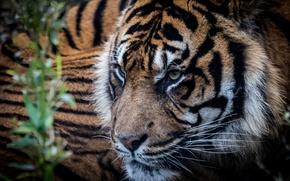 Обои взгляд, хищник, тигр, фон