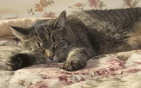 Обои кошка, сон, кот, одеяло